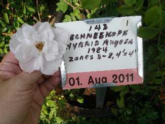 Rugosa Roses And Hybrid Rugosa Roses Grown By Azalea House